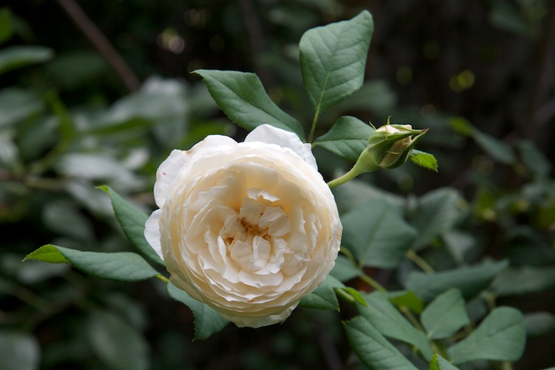 Rosier anglais 'Rose Marie', syn. 'White Heritage', 'AUSome'
